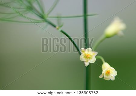 Asparagus (Asparagus officinalis) plant in flower. Flowers of spring vegetable in the family Asparagaceae