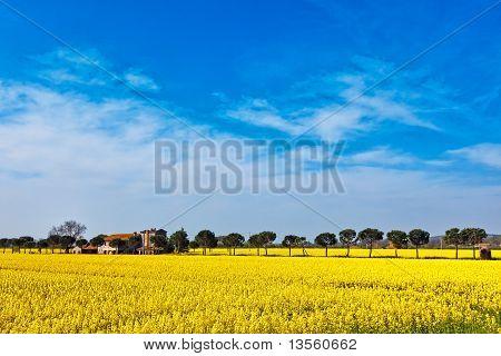 Panoramic View Of Mustard Plants Along The Trasimeno Lake, Italy