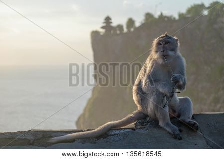 Impudent monkey - thief sitting and thinking with stolen glasses at sunset near Uluvatu temple in Bali