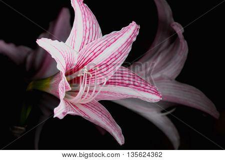 White Pink amaryllis flower on dark background