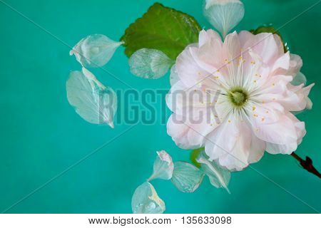 Pink Almond Flower Blossom Floating in Water