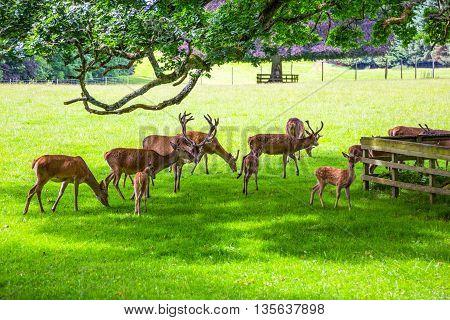 Great Britain Scotland Perthshire Blair Atholl deer in the Blair castle's garden.