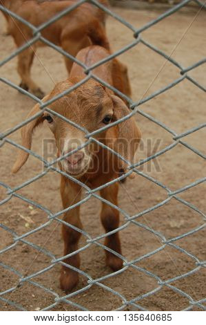 Very cute brown young kinder goat on a farm.