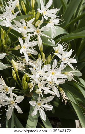 Pancratium white flowers herbaceous and bulbous plants in the Amaryllis family