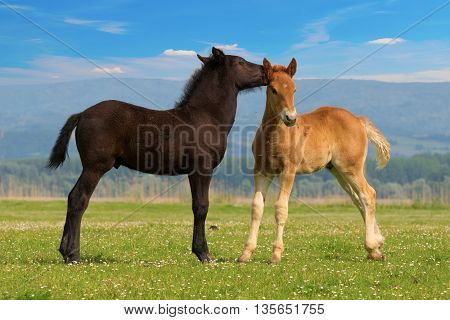 Two cute brown and black foal on the summer meadow