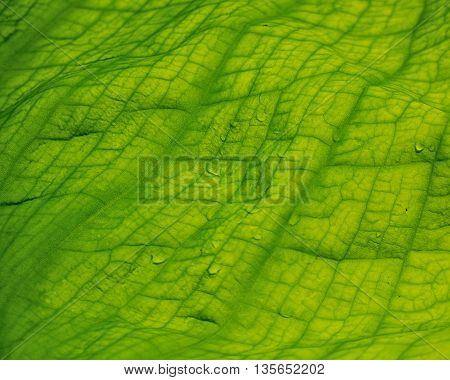 Skunk cabbage leaf in close up with raindrops