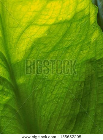 Skunk cabbage leaf in spring in close up