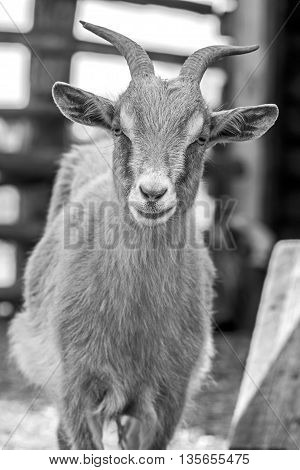 goat. pet goat. animal goat. Goat on the farm. Young horned goat chewing