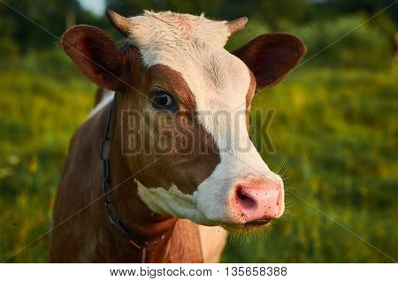 Head of a cow against a summer pasture. Close-Up Photography.