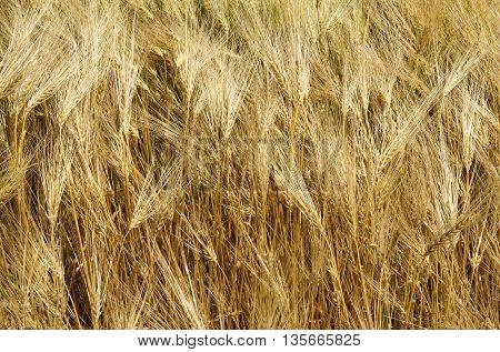 Common Barley (Hordeum vulgareplant) plant in summer as golden background