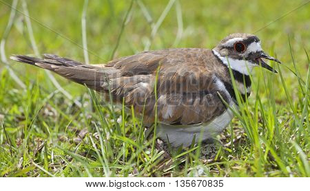 Killdeer that is on a nest with eggs on a grassy field