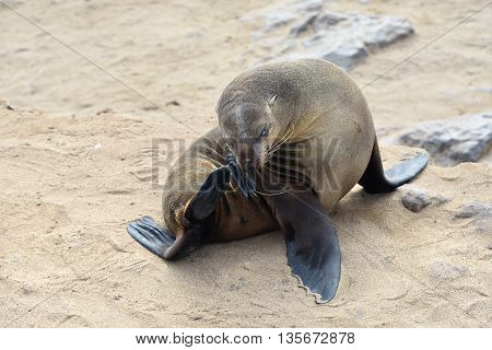 Relaxed Cape Fur Seal, Namibia