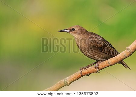 brown young starling sits on a branch, next generation, summer, green background