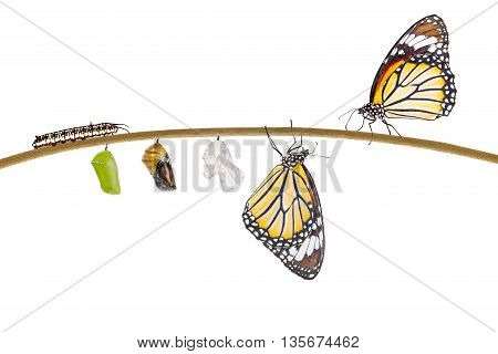 Isolated transformation of common tiger butterfly emerging from cocoon on twig with clipping path