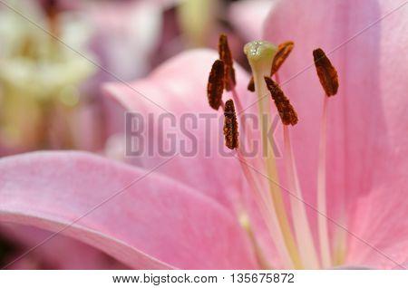 Beautiful Lily Growing In Garden
