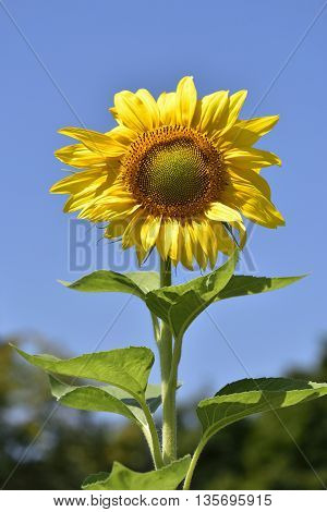 Sunflower on West Chester Pike, Delaware County, PA
