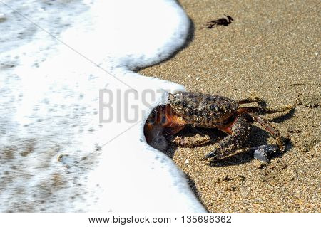A black sea crab escaping into the coming wave. Taken in Black sea coast of Igneada