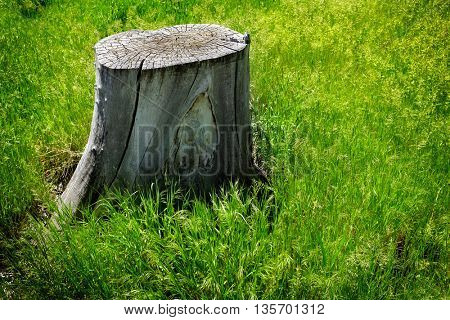Old tree stump in green grass environment environmental