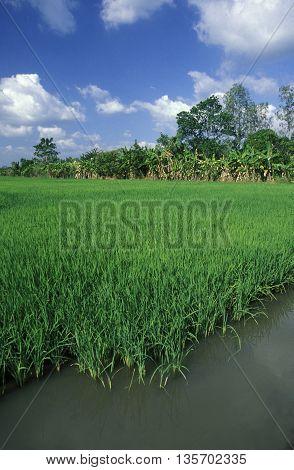Asia Vietnam Mekong Delta Rice Field