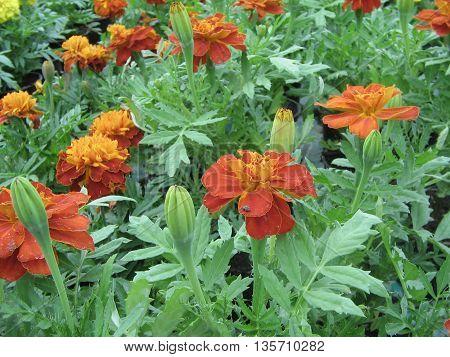 LOS CLAVELES  CHINOS son  bellas  plantas y con flores de colores  muy  vivos y bonitos..