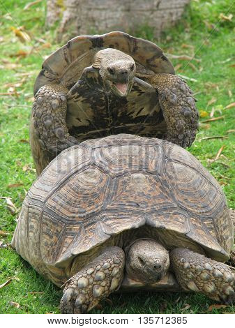 Male And Female Tortoises Busy copulating 02