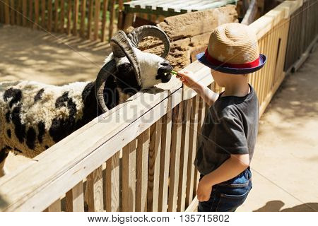 Little Kid Feeding Big Ram On An Animal Farm