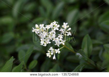 Flowers of a wild privet bush (Ligustrum vulgare)