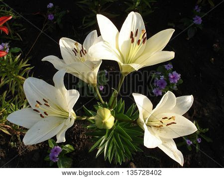 Asiatic hybrids lilium 'Apollo' white flowers and buds.