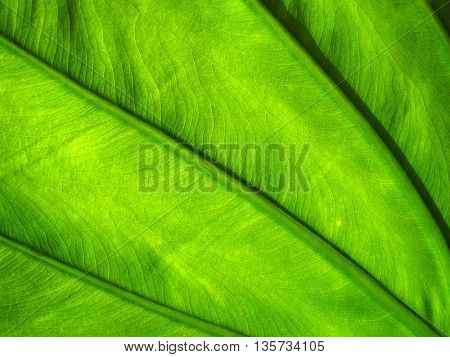 detail of the green lamina