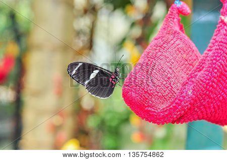Black Cattle Heart Butterfly Amazon Rainforest South America
