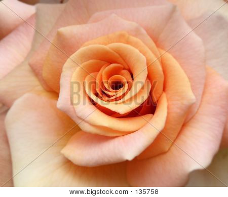 Flower-peach Rose