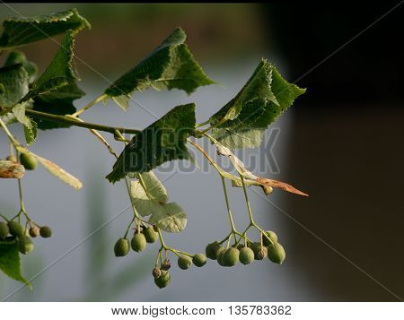 The Tilia cordata (Tilia cordata) crop after flowering.
