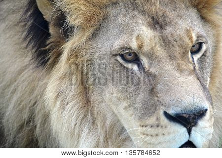 lion face with a fluffy mane closeup