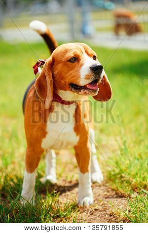 Young, Beautiful, Brown And White Beagle Dog Puppy Standing On Lawn In Grass