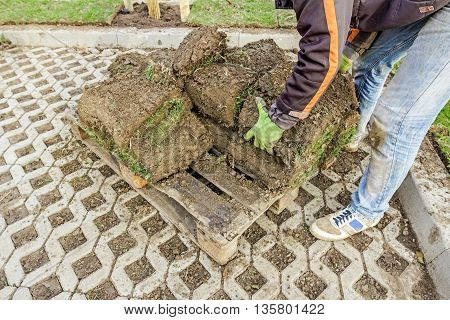 Worker is taking sod of rolls from heap on wooden pallet for installing new lawn.