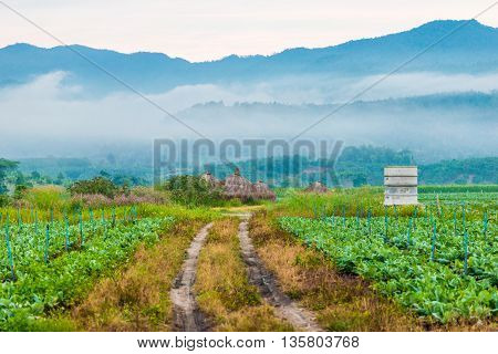 Tobacco Farm In Morning Background With High Mountain