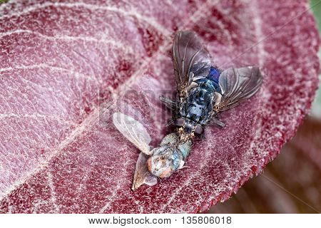 Macro Shot Of A House Fly (blue Bottle Fly)