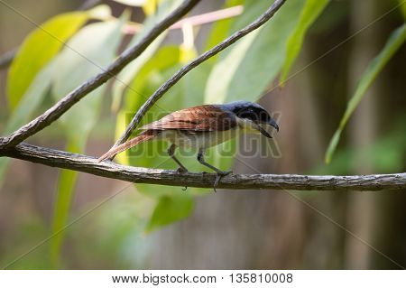 Tiger Shrike In Forest
