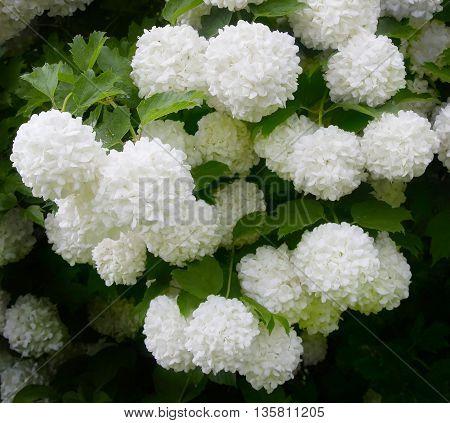 Viburnum Roseum bloomed beautiful white globular flowers in the village.