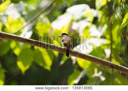 colorful bird Silver-breasted broadbill (Serilophus lunatus) on tree branch