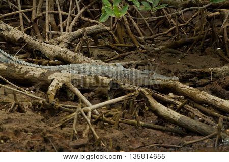 Wildlife crocodile was spotted in the mangroves of Brunei Darussalam