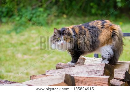 Domestic long-haired calico pet cat standing on wood pile