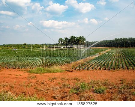 Agricultural. Oil palm plantation seedlings with bifid leaves at oil palm nursery with springer water in south of Thailand.