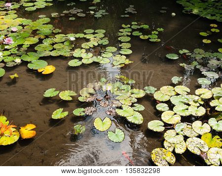 Water lily flower pond with turtles and colorful fishes