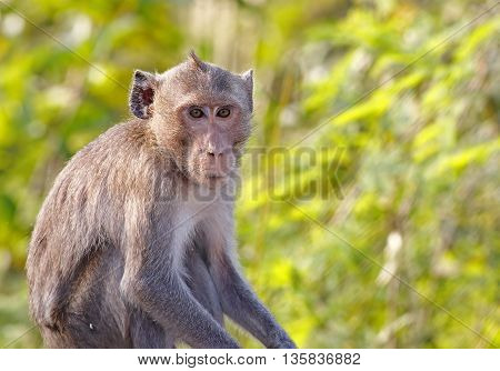 Long-tailed macaque Crab-eating macaque Macaca fascicularis Monkey