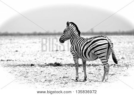 Isolated zebra on the etosha pan in monochrome with a white vignetted edge