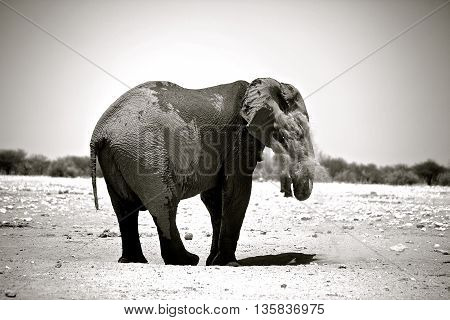 Large male elephant dusting himself in black and white with vignetted edge