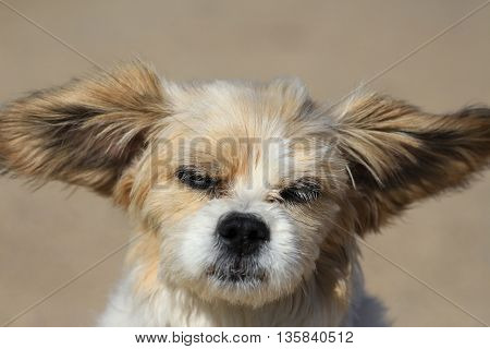 Funny Lhasa Apso Dog With Big Ears