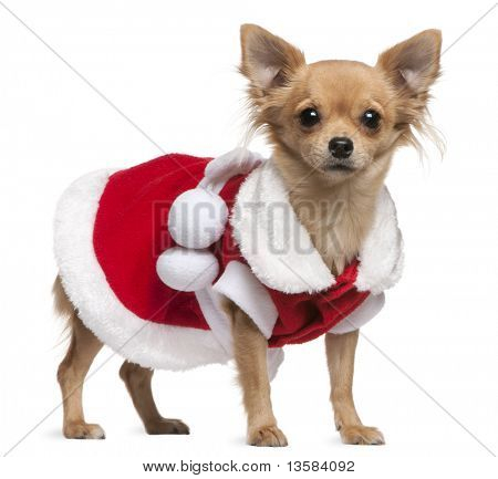 Chihuahua dressed in Santa dress, 18 months old, standing in front of white background