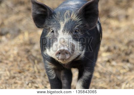 Black baby pig running in a pig pen.